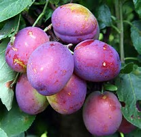Prunes violettes
