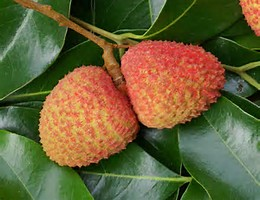 litchi ILES MAURICES