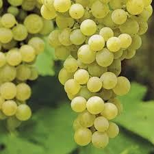 raisin blanc chasselat